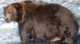 Poznajcie najgrubszego niedźwiedzia na Alasce