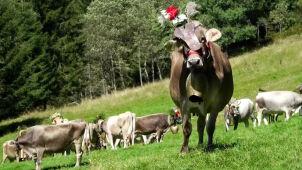 Dzwonki i kolorowe kwiaty. Krowy wróciły z alpejskich pastwisk